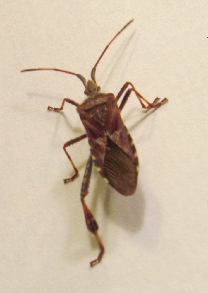 Bugs that look like crickets